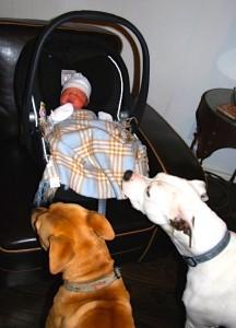 baby and Pitt Bulls
