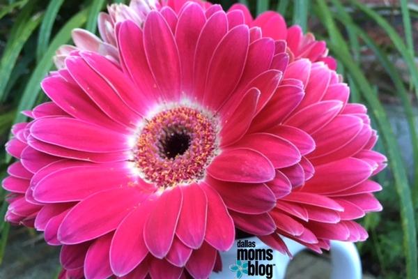 magenta pink daisies