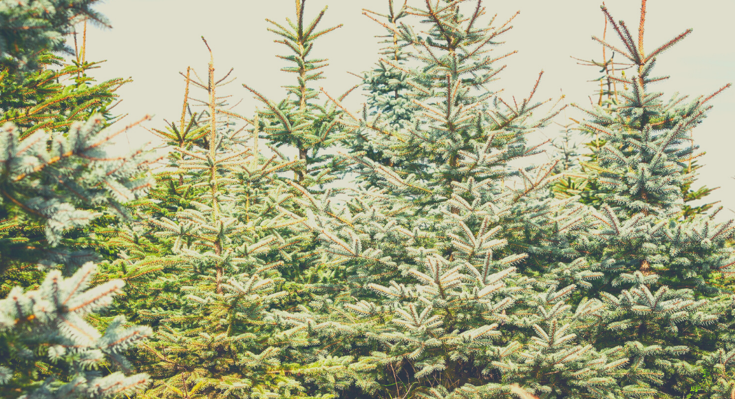 A Guide To Christmas Tree Farms In Around Dallas